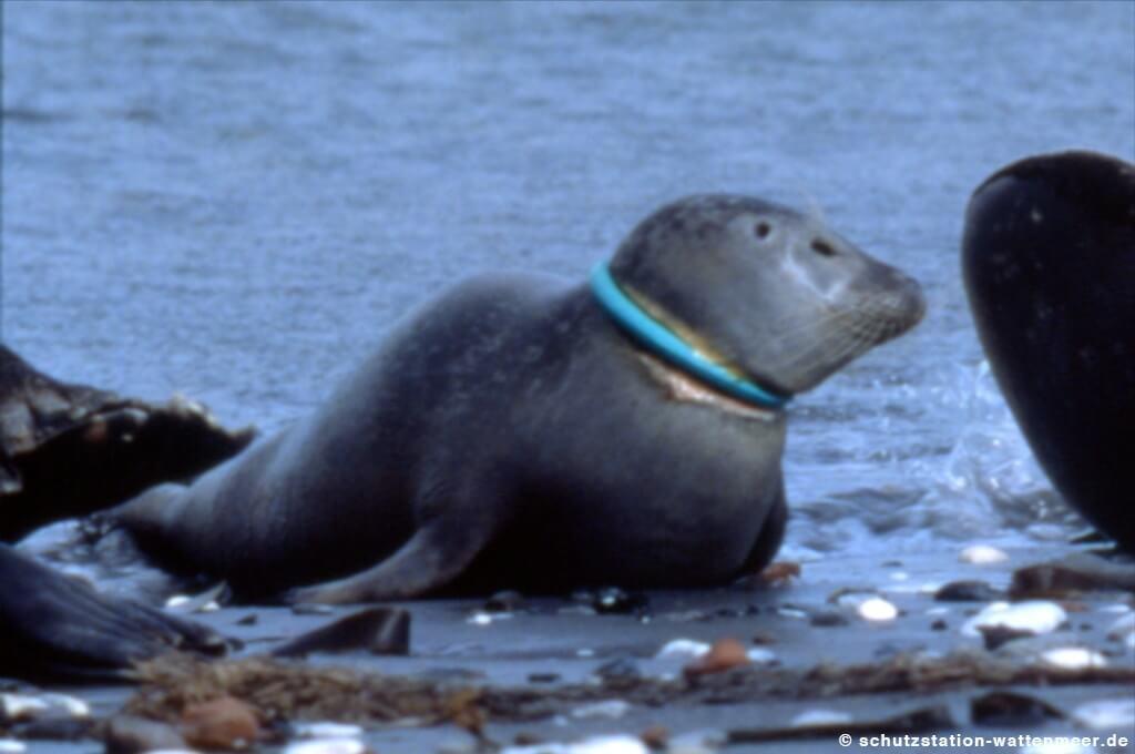 Seehundsterben